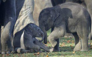 Bullying. Δεν τον νοιάζει τον Max, τον μόλις επτά μηνών ελέφαντα, ότι με τις σπρωξιές του ταλαιπωρεί τον νεοφερμένο στον κήπο. Τι και αν ο μικρούλης δεν είναι ούτε ενός μηνός και δεν τον έχουν  βαπτίσει οι υπεύθυνοι του κήπου; Εκείνος θέλει δυο πράγματα: να παίξει και να δείξει επιτέλους σε κάποιον ότι είναι και αυτός μεγάλος. Η φωτογραφία είναι από τον ζωολογικό κήπο της Πράγας. AP Photo/Petr David Josek