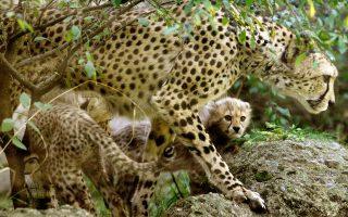 Μικρά τσιτάχ υπό την προστασία της μητέρας τους, της 10ετούς Μσικάνα, σε ζωολογικό κήπο στην Ελβετία.