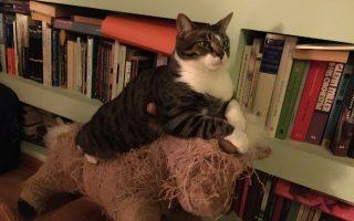 Η γάτα που ακούει στο ιαπωνικό όνομα Φουκουόκα σε πόζα αυτοκρατορική. Οι κεραμιδόγατες έχουν στυλ.