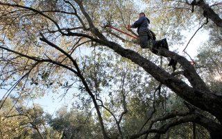 Στη Μυτιλήνη δεν ξεριζώθηκαν οι παλιές ελιές για να φυτευτεί Κορωνέικη, έτσι τα δέντρα είναι συχνά αιωνόβια. (Φωτογραφίες: ΚΑΤΕΡΙΝΑ ΚΑΜΠΙΤΗ)