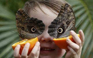 Ανοιξιάτικη διασκέδαση. Για άλλη μια χρονιά το Μουσείο Φυσικής Ιστορίας του Λονδίνου προχωρά σε μια εντυπωσιακή έκθεση με θέμα τις πεταλούδες. Στην φωτογραφία ο μόλις πέντε ετών George Lewys ποζάρει με δυο τεράστιες πεταλούδες-κουκουβάγιες. REUTERS/Stefan Wermuth