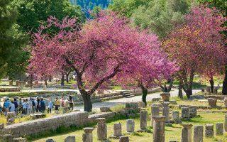 Οι ανθισμένες κουτσουπιές ομορφαίνουν ακόμη περισσότερο τον αρχαιολογικό χώρο της Ολυμπίας. (Φωτογραφία: ΓΙΑΝΝΗΣ ΓΙΑΝΝΕΛΟΣ)