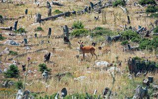 Κόκκινο ελάφι σε μικρή απόσταση από το ξενοδοχείο «Μον Παρνές». Η ανάκαμψη του πληθυσμού των συγκεκριμένων ζώων είναι εντυπωσιακή.  Φωτογραφίες: Bαγγέλης Ζαβός
