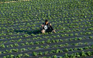 Αρκετοί γνώριζαν τις συνθήκες εργασίας στα φραουλοχώραφα της Μανωλάδας και της ευρύτερης περιοχής.