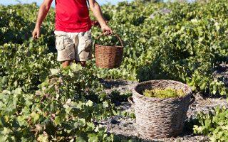 Φέτος στη Σαντορίνη έπειτα από πολλά χρόνια σημειώθηκαν σημαντικές βροχοπτώσεις, με αποτέλεσμα τα αμπέλια να έχουν δύναμη και υγεία.
