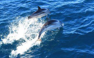 Δύσκολη η επιβίωση για τα δελφίνια στον ημίκλειστο Κορινθιακό.