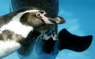 Δύο πιγκουίνοι Χούμπολτ κολυμπούν σε δεξαμενή στη Μαγιόρκα. Η προστασία του είδους είναι πρωταρχικής σημασίας για τη Χιλή.
