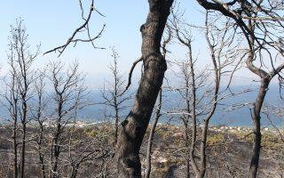 Μια καμένη έκταση μπορεί να πρασινίσει σε σύντομο διάστημα, αρκεί να υπάρξουν μέτρα προστασίας από τη βόσκηση και τη διάβρωση του εδάφους.