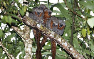 Πίθηκοι Ζογκ Ζογκ Ράμπο ντε Φόγκο περιλαμβάνονται μεταξύ των νέων ειδών που ανακαλύφθηκαν στην Αμαζονία.