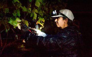 Ένα οινικό δρώμενο ο νυχτερινός τρύγος στο Κτήμα Παυλίδη, μετατρέπει το αμπέλι σε σκηνικό. Φωτογραφίες: Αλέξανδρος Αβραμίδης
