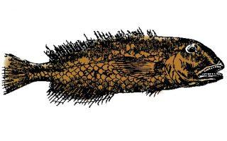 scarus-cretensis0
