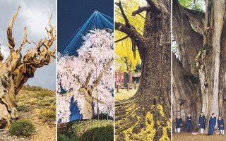 Aπό αριστερά: Αιωνόβια δέντρα στην Καλιφόρνια, στο Κιότο, στο Τόκιο και στο Μεξικό από το πρότζεκτ των Diane Cook και Len Jenshel.
