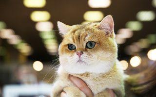 Η νέα έρευνα έρχεται σε αντίθεση με προηγούμενες, που υποστηρίζουν ότι η συμβίωση με γάτες στο σπίτι μπορεί να ερεθίσει τους πνεύμονες.