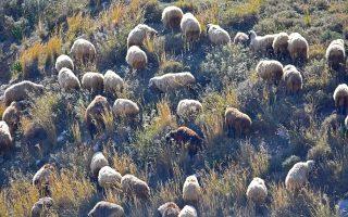 Από τις 350.000 αιγοπρόβατα που βρίσκονται στη Λέσβο, περίπου 3.500 έχουν θανατωθεί, προκειμένου να μην εξαπλωθεί η νόσος.