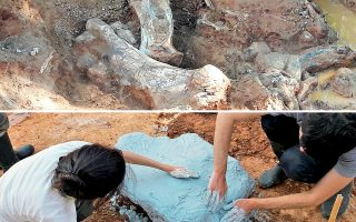 Πάνω, τμήμα από τα φετινά παλαιοντολογικά ευρήματα της ομάδας των ανασκαφών στο Πικέρμι. Κάτω, οι γεωλόγοι καλύπτουν εύρημα με γύψο, για λόγους προστασίας και συντήρησης.