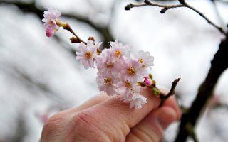 """Η """"τρελή¨ του χειμώνα. Ανθίσαν οι κερασιές στο Szczecin της Πολωνίας. Είναι η τέταρτη συνεχόμενη χρονιά που στην περιοχή μετρούν θερμοκρασίες πάνω από τα φυσιολογικά όρια, οπότε τι να σου κάνουν τα δένδρα, μπερδεύουν τον Δεκέμβρη με τον Μάρτη. EPA/Marcin Bielecki"""