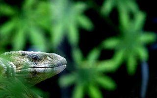 Νέα είδη ανακάλυψαν οι επιστήμονες στην περιοχή του Μεγάλου Μεκόνγκ το 2016. Ανάμεσά τους και ένας κροκόδειλος που μοιάζει με σαύρα.