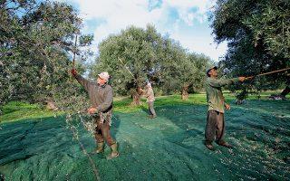Το μάζεμα της ελιάς στο Κτήμα Βασιλάκη στο Λασίθι. (Φωτογραφία: © ΕΦΗ ΠΑΡΟΥΤΣΑ)