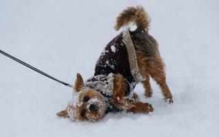 Δεν φεύγω. Ξεθεωμένος ο μικρός σκύλος αρνείται να κουνηθεί από την χιονισμένη πλαγιά. Η κατάβαση για την διοργάνωση FIS Alpine Skiing World Cup στο Kitzbuehel της Αυστρίας αναβλήθηκε λόγω έντονης χιονόπτωσης. REUTERS/Leonhard Foeger