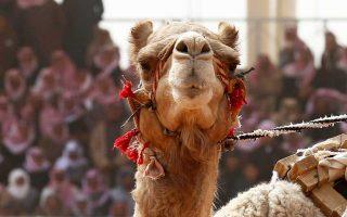 Το φεστιβάλ καμήλας έχει χρηματικό έπαθλο που αγγίζει τα 57 εκατομμύρια δολάρια.