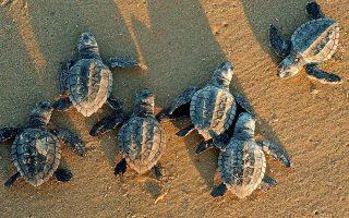 Οχι μόνο δεν κατορθώνουν όλα τα χελωνάκια να φθάσουν στη θάλασσα, αλλά ορισμένα (π.χ. δεξιά επάνω) έχουν και αυτοκτονικές τάσεις...