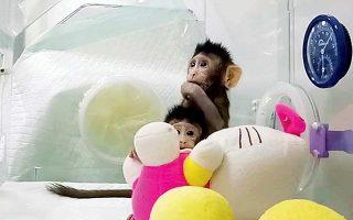 Οι δύο κλώνοι, η Ζονγκ Ζονγκ και η Χούα Χούα, μαϊμούδες του γένους μακάκο. Η μία είναι ηλικίας οκτώ εβδομάδων και η άλλη έξι.
