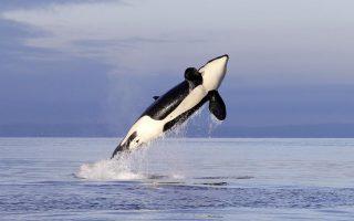 i-proti-orka-poy-milaei-tin-anthropini-glossa0