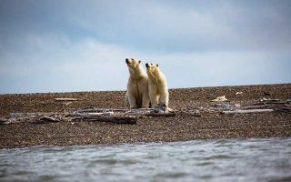 Πολικές αρκούδες στην Αλάσκα, στο αρκτικό εθνικό καταφύγιο άγριας ζωής.
