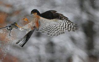 Ο δολοφόνος. Μετά από παρατήρηση και με μια μόνο κίνηση, το εικονιζόμενο γεράκι (Accipiter nisus) γράπωσε το μικρό πουλί. Και οι δυο τους έψαχναν για τροφή στο δάσος του Pomaz μερικά χιλιόμετρα από την παγωμένη Βουδαπέστη. EPA/Attila Kovacs