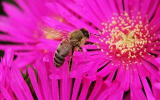 Οι μέλισσες επιτελούν τον εξαιρετικά κρίσιμο ρόλο της επικονίασης του 75% των καλλιεργειών.