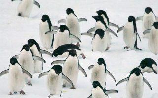 Πιγκουίνοι Αντελί απολαμβάνουν τις παγωμένες χαρές της Ανταρκτικής.