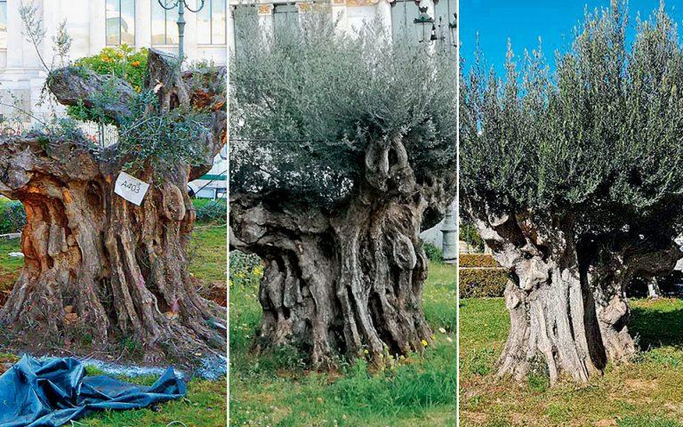 Τα δύο επιβλητικά υπεραιωνόβια ελαιόδεντρα στα Προπύλαια ρίζωσαν και μεγαλώνουν
