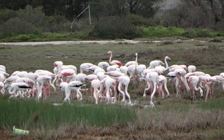 Εντυπωσιακές εικόνες από την άφιξη των ροζ φλαμίνγκο στη λιμνοθάλασσα της Λευκίμμης