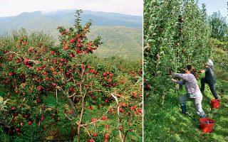 Η παραγωγή μήλων Ζαγοράς Πηλίου, προϊόν ΠΟΠ, αγγίζει τους 15 τόνους ετησίως. Εκτός από τις αγορές Ελλάδας και Ε.Ε., εξάγονται σε Αλβανία, Ισραήλ, Αίγυπτο και αλλού. Στον Συνεταιρισμό είναι το 99% των αγροτών από Ζαγορά και δύο γειτονικά χωριά.