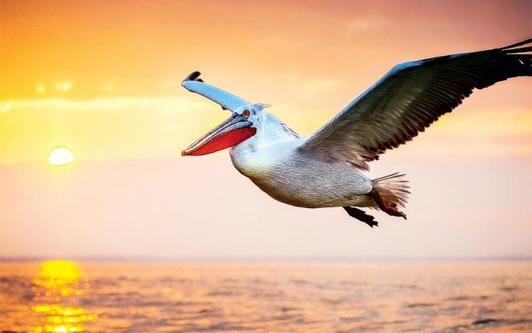 Αργυροπελεκάνος εν πτήσει. Άνοιγμα φτερών έως 3,2 μέτρα. (Φωτογραφία: GEO Pictorial/George S Blonsky)