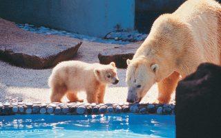 Ο Ινούκα με τη μητέρα του Σέμπα. Πρόκειται για τη μοναδική πολική αρκούδα που έζησε σε τροπικό κλίμα.