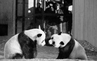 Τα δύο γιγαντιαία πάντα του Εθνικού Ζωολογικού Κήπου της Ουάσιγκτον, ο Λινγκ-Λινγκ και η Χσινγκ-Χσινγκ, παίζουν κατά τη διάρκεια της πρώτης τους συνάντησης στους χώρους του ζωολογικού πάρκου, το 1974. (AP Photo/Charles Tasnadi)