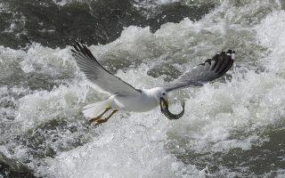 Πτηνά 1. Με την ολόφρεσκη λεία του στο στόμα ένας γλάρος παίρνει τον δρόμο για την στεριά με σκοπό να την απολαύσει. Η φωτογραφία είναι από την αλμυρή και αλκαλική λίμνη Βαν στα ανατολικά της Τουρκίας. EPA/SEDAT SUNA