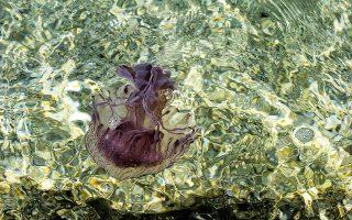 Η Pelagia Noctiluca κινείται ανάλογα με τα θαλάσσια ρεύματα.