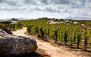 Σε υψόμετρο περίπου 450 μ., γύρω από τον Φαλατάδο στην Τήνο, ο ξηρικός αμπελώνας του οινοποιείου Τ-Oinos έχει κυπελλοειδή διαμόρφωση και είναι φυτεμένος με κυκλαδίτικες ποικιλίες. (Φωτογραφία: Γιώργος Βδοκάκης / www.t-oinos.com)