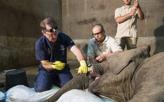 Ο τρόμος για τον οδοντίατρο. Δεν έχει σημασία που ο ασθενής είναι ελέφαντας. Αν κάποιος έχει τρόμο με τον τροχό και τον οδοντίατρο, η εικόνα αυτή αντικατοπτρίζει τον απόλυτο φόβο με τα σφυριά και τα τρυπάνια. Ο Νότιο Αφρικανός ειδικός Gerhard Steenkamp  (ένας από τους τρεις παγκοσμίως που μπορεί να κάνει αυτή την επέμβαση) αφαιρεί το χαλασμένο δόντι του μόλις 3 ετών Kiro στο Sosto Zoo της Ουγγαρίας με την βοήθεια κτηνιάτρων και προσωπικού. EPA/Attila Balazs