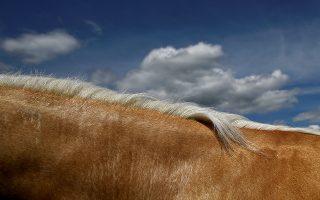 Χρυσό βουνό. Μια ψευδαίσθηση δημιουργεί στο φακό ο λαιμός του αλόγου με φόντο τον καταγάλανο ουρανό. Η φωτογραφία από την έκθεση αλόγων spancel Hill στην Ιρλανδία.  REUTERS/Clough Kilcoyne