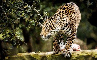 Ανάμεσα στα ζώα που δραπέτευσαν από τα κλουβιά τους περιλαμβανόταν και ένα τζάγκουαρ. Ολα εντοπίστηκαν πριν δημιουργηθεί σοβαρό πρόβλημα.