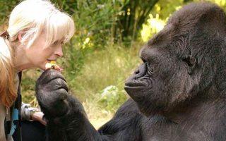 ipa-pethane-i-koko-o-diasimos-thilykos-gorillas-poy-epikoinonoyse-sti-noimatiki-vinteo0