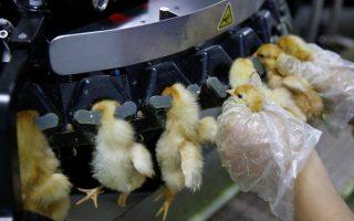 Βαρβαρότητες. Αν και μόλις βγήκαν από το αβγό, ξεκίνησαν άμεσα την ζωή τους στην γραμμή παραγωγής. Στο εργοστάσιο που εκκολάφθηκαν μια εργάτης τα βάζει σε μηχανή για να τους κόψει το ράμφος – συνήθη πρακτική για τα κοτόπουλα που θα περάσουν την ζωή τους γεννώντας αβγά. Η φωτογραφία είναι από πτηνοτροφείο στην Κίνα και συγκεκριμένα στην επαρχία Hebei. REUTERS/Thomas Peter