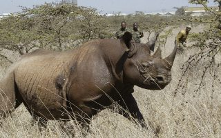 FILE - In this file photo taken on Saturday Jan.14, 2006, a  4-year old Female black Rhino, runs after it was darted at Nairobi National Park. A Kenyan wildlife official on Friday, July 13, 2018 says seven critically endangered black rhinos are dead following an attempt to move them from the capital to a national park hundreds of kilometers away. (AP Photo/Sayyid Abdul Azim, File)