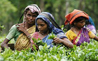 Γυναίκες εργάτριες σε φυτεία τσαγιού του κρατιδίου του Ασάμ συλλέγουν τσάι.