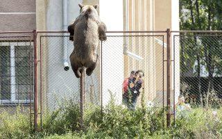 Ο ληστής. Μια αρσενική αρκούδα κρέμεται στον φράχτη του σχολείου Octavian Goga στην πόλη της Τρανσυλβανίας, Csikszereda. Ο μάλλον νηστικός αρκούδος μπήκε σε αρκετά σπίτια, σκότωσε μια κατσίκα και σκοτώθηκε από έναν κυνηγό. Nandor Veres/MTI via AP)