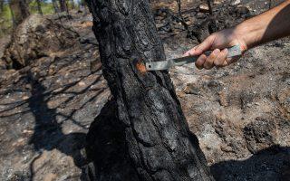 Ερευνητής της Πυροσβεστικής, σε αυτοψία της «Κ» το 2017 στην Καισαριανή, ξύνει τον κορμό πεύκου για να διαπιστώσει πώς κινήθηκε η φωτιά.
