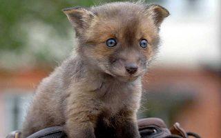 Οι εξημερωμένες αλεπούδες μπορεί να μας βοηθήσουν να κατανοήσουμε πολλά πράγματα για την εξημέρωση των σκύλων.